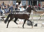 Bestelnummer 260814248 Havehoeves Beauty (Reekamps Eclips x Aladin)-003.JPG