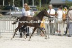 Bestelnummer 260814337 Poppings Clinton (Reekamps Eclips x Elshofs Otto)-002.JPG