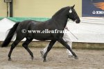 Bestelnummer 180212283 Young Winsome's Adrian (Duke's Forest Antares x Oosterbroek Arthur)-3.JPG